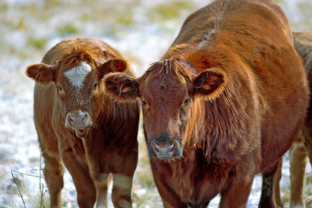 hereford: Hereford Cow and Calf at winter pasture, watching Stock Photo