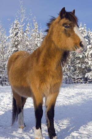 hoofed animals: Welsh Pony standing on snow at winter pasture Stock Photo