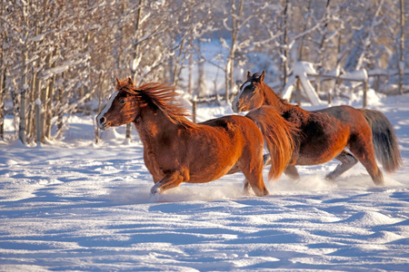 hoofed animals: Two Arabian Horses running in snow at winter pasture .