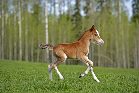 Welsh Mountain Pony Colt running on meadow