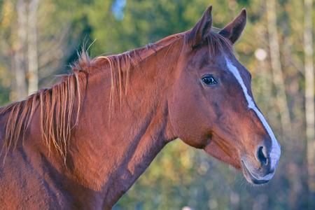 yegua: Retrato de una hermosa yegua castaña de