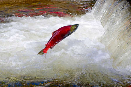upstream: Sockeye Salmon leaping over water fall