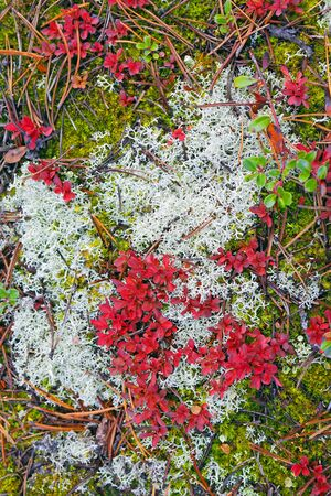 Detail of Forest floor covered in mosses and lichen