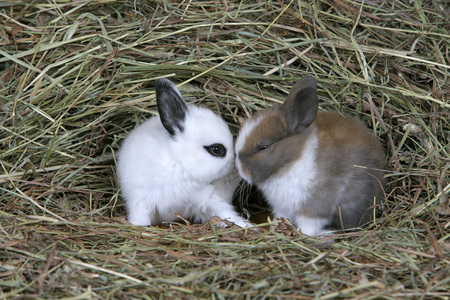 Domestic Rabbits, two baby Bunnies  together in hay