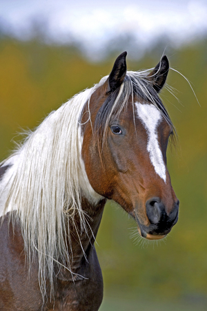 Head of Paint Arabian Horse