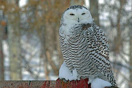 Snowy Owl zittend op een hek in de winter, het rusten Stockfoto