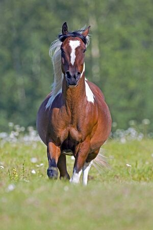 gelding: Beautiful Pinto Arabian Gelding galloping on meadow.