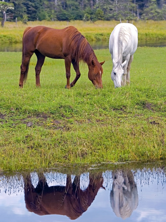 grassing: Arabian Horses chestnut and white grassing by creek, reflection in water