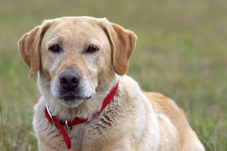 yellow yellow lab: Female Labrador Retriever laying in grass , watching