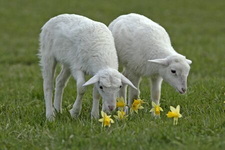 grassing: Two St. Croix Lambs standing in meadow by yellow flowers