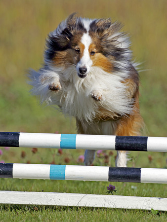 Shetland Sheepdog jumping over bar obstacle on Agility trial Фото со стока