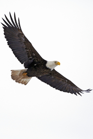 Bald Eagle in flight against white background