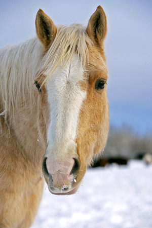 palomino: Palomino Quarter horse in winter, Head close up