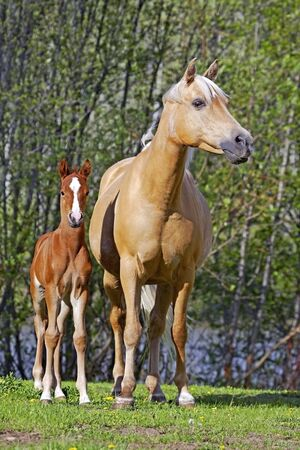 palomino: Palomino Mare at summer pasture, watching over few week old chestnut Foal Stock Photo