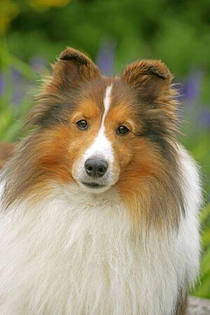familiaris: Shetland Sheepdog, portrait closeup Stock Photo