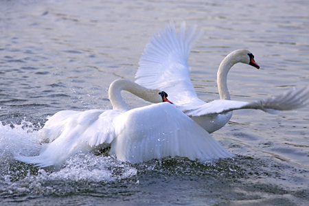 chasing: Two adult Mute Swan fighting , chasing each other in the water.