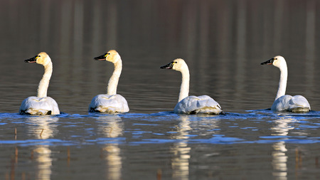 Three Tundra Swan  swimming together on lake , resting on their migration south