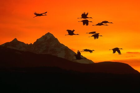 Sandhill Cranes flying into sunset over Mountain Range. 版權商用圖片