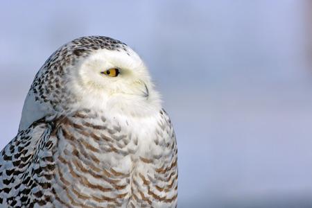 Closeup Portrait of wild Snowy Owl , against a blue sky background. ( Nyctea scandiaca )