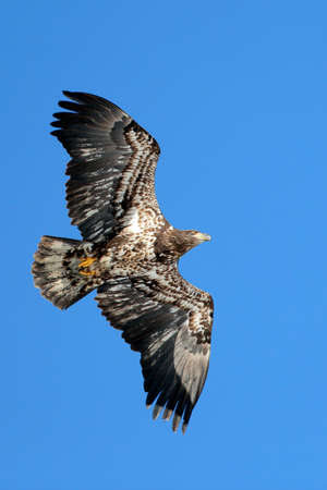 Immature Bald Eagle, about three years old, in flight on blue sky.