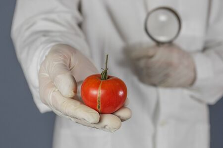 GMO scientist looks at red tomato through magnifying glass - genetically modified food concept. 版權商用圖片