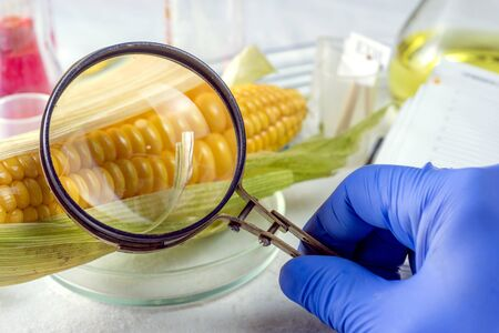 Scientist examining quality of corn seed kernels, close up of hand holding magnifying glass.