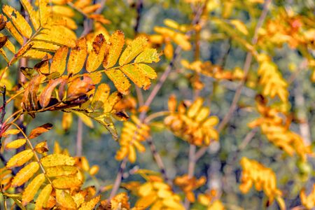 golden autumn leaves backgraund tree. natural forest. Stock Photo