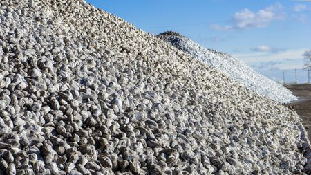 Pile of sugar beets on the ground after harvest,