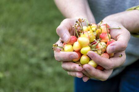 Photo Full palms of ripe sweet cherries in female hands