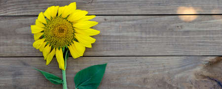 Yellow sunflower on wooden background, close up, copy space.