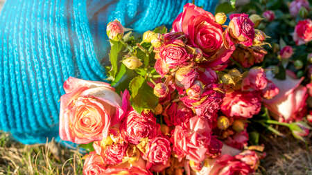 Photo Blue winter scarf with a bouquet of delicate roses. Spring and winter mood composition. Foto de archivo