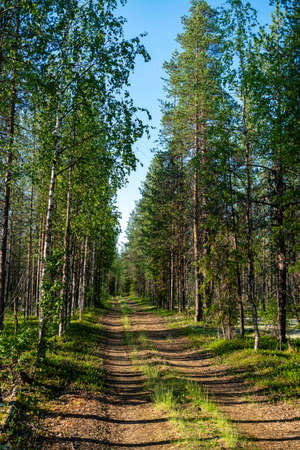 Sunny summer morning in wild taiga, cedar forest landscape with green grass and road