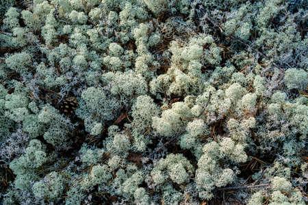 White moss in the taiga forest. Top View. Foto de archivo