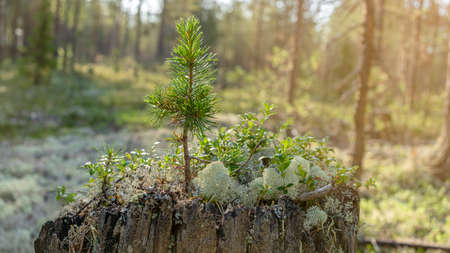 A small tree grows on an old tree stump surrounded by white moss in a taiga forest. Foto de archivo