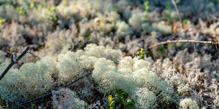 White moss in the taiga forest. Close up.