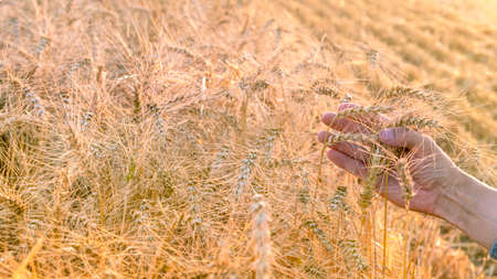 A mans hand holds ripe ears of wheat on the field during the harvest.