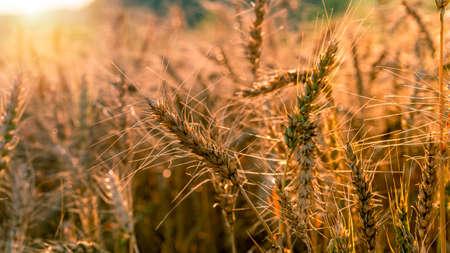 Ripening ears of yellow wheat field on the sunset. Setting sun rays on horizon in rural meadow. Rich harvest. Foto de archivo