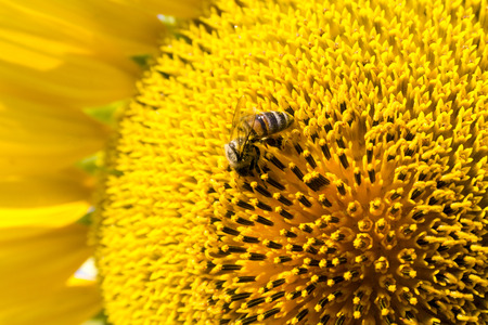 Summer scene about bees that pollinate sunflower. Bee produces honey on a flower. Summer background.