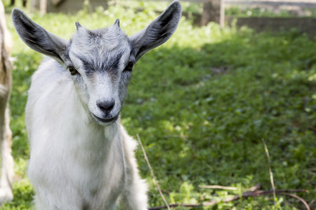 yeanling: Funny young goatling playing outdoors