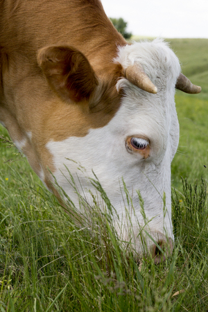 bothered: Brown cow with white face bothered by flies on a mountain pasture Stock Photo