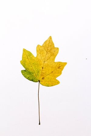 rust red: colorful autumn maple leaf isolated on white background
