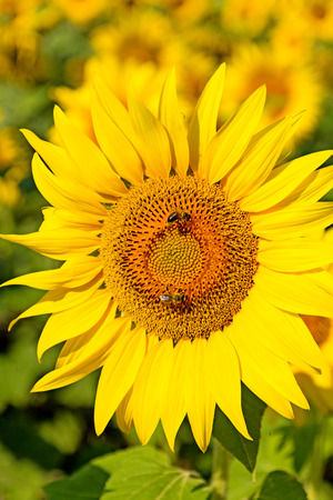 pollinate: Summer scene about bees that pollinate sunflower. Bee produces honey on a flower. Summer background.