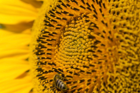 pollinate: Summer scene about bees that pollinate sunflower. Bee produces honey on a flower. Summer background