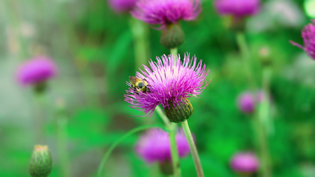 Bumblebee in milk thistle
