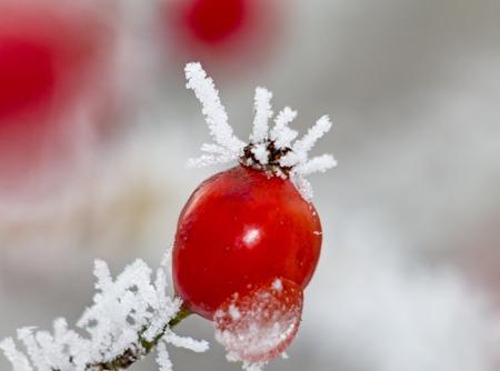 Rotes Hagebuttenmakro im Winter unter Frost in der Kälte