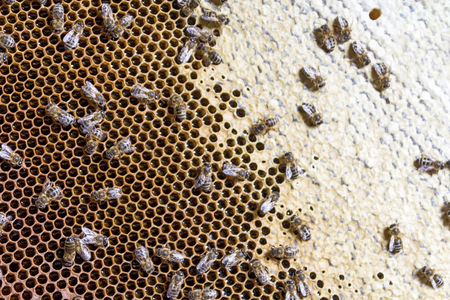 closeup of bees on honeycomb in apiary - selective focus, copy space 스톡 콘텐츠