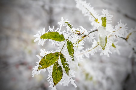 Leaf hanging on a tree covered with hoarfrost. Morning frost deposition. Early frosts, freezing, soft rime. 스톡 콘텐츠