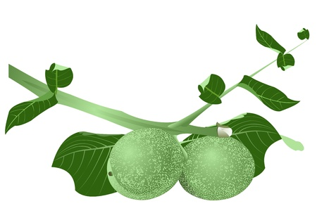 Illustration of a branch of green walnuts on a white background Illustration