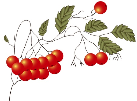 Illustration of ripe red Rowan twigs with leaves on a white background