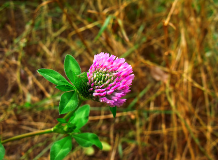 Full-blown clover flower in the blurry background photo